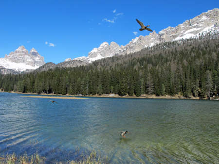 lake misurina: two ducks in flight over the beautiful alpine lake misurina in cadore