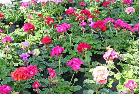 potted Geraniums for sale in the shop of a nurseryman florist photo