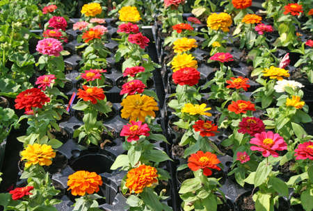 chrysanthemums in pots for sale in the shop of a nurseryman florist photo
