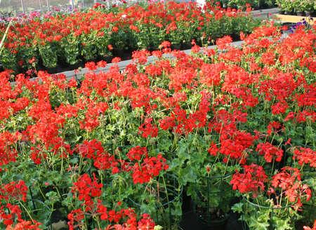 red Geraniums for sale in the shop of a nurseryman florist photo