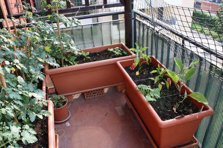 tomato and pepper plants grown on a vegetable garden in a balcony of a House