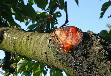 seeping: branch cut with the resin seeping from the wound Stock Photo