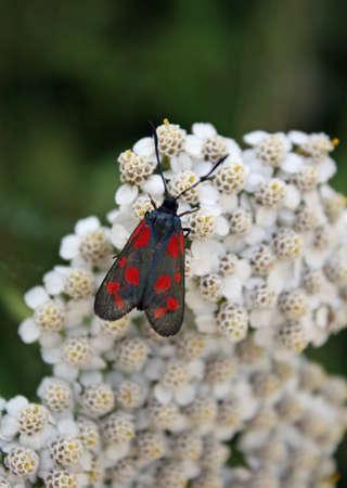 Czarny motyl z czerwonymi kropkami powyżej małych białych kwiatów na wiosnę Zdjęcie Seryjne - 14013542