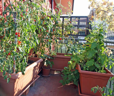 potted vegetables grown in a terrace of an apartment building in the city Stock Photo