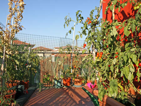 red tomatoes grown in a pot on a terrace of an apartment building in the city photo