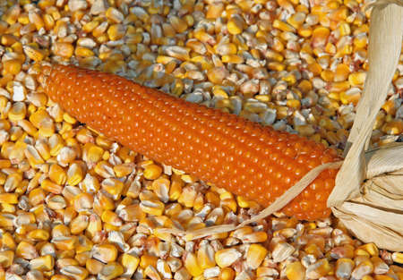 surrounded by mature cob corn in autumn photo