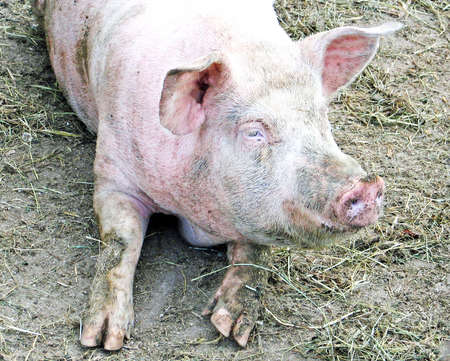 sty: Pink snout of a pig in the sty in the mud