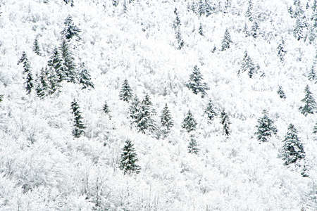 distemper: white trees in the mountains on a winter