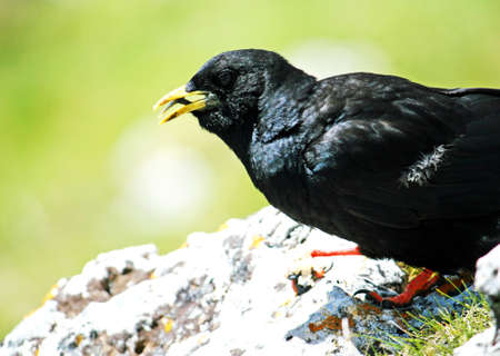 black blackbird with a yellow beak open Stock Photo - 18159980