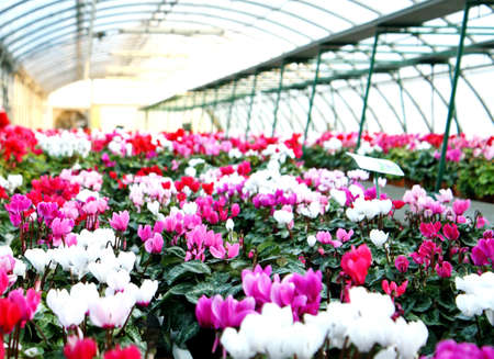 vases of flowers violets and cyclamen in a greenhouse in winter photo