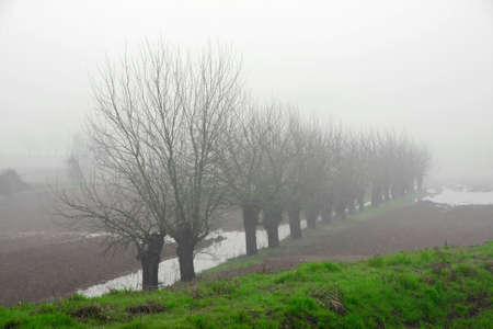 mulberry trees amidst the fog in Italian plain photo
