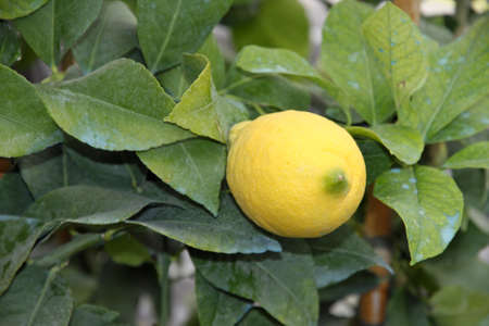 verdigris: lemon in a plant with leaves treated with verdigris