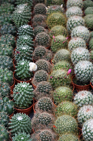 series of potted cactus for sale at the market of florists Stock Photo - 18872665