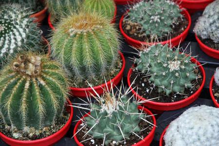 sores: serie di cactus in vaso per la vendita al mercato di fioristi