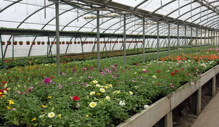 greenhouse for the intensive cultivation of flowering plants and flower pots photo
