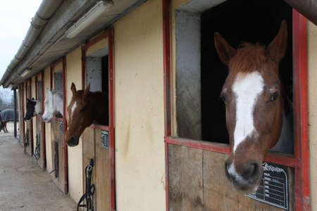 mighty horse stallions in the enclosure of a barn of a riding school