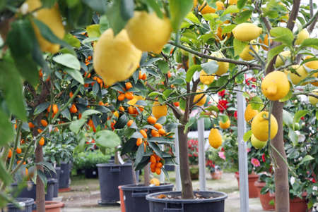 Citrus plants growing oranges and lemons in Sicily in Italy