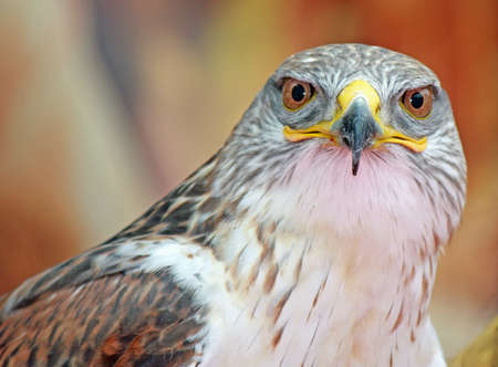 close-up of a hawk with big eyes that stare at you photo