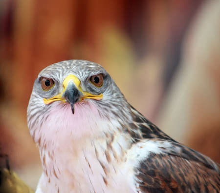 falco: close-up of a hawk with big eyes that stare at you