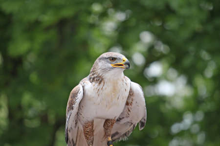 careful look of a hawk looking for a possible prey photo
