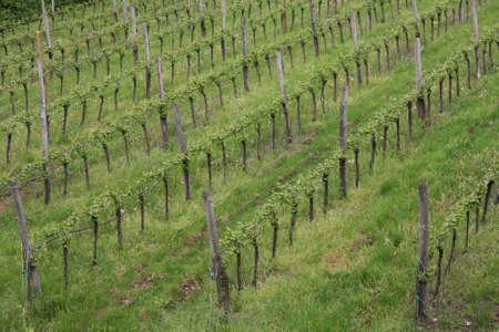 rows of a vineyard in the green hill meadow in summer Reklamní fotografie