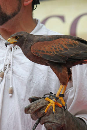 commanded: glove of a brave Falconer  that trains a mighty fly Falcon commanded