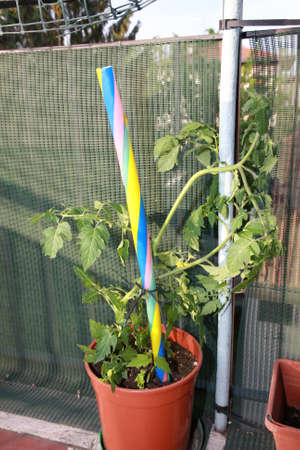tomato plant in a pot grown in the terrace of the apartment photo