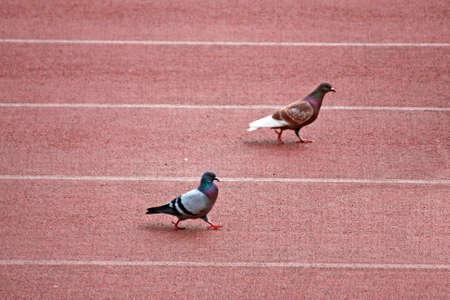 Colombo und eine Taube während einer Bahnrennen