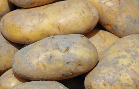 mature mountain potatoes sold by greengrocers photo