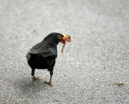 Black Blackbird hunting with a worm in the yellow beak photo