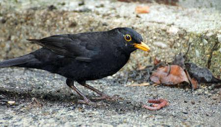 Black Blackbird hunting with a worm photo