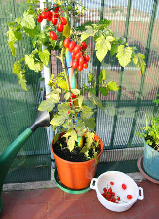 vase with tomato plant and the white container with those already collected photo