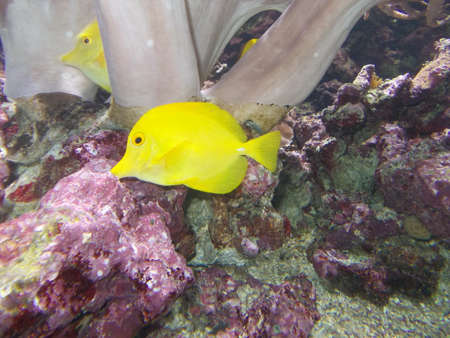 two yellows tropical fish swim in the clear waters of the Aquarium photo