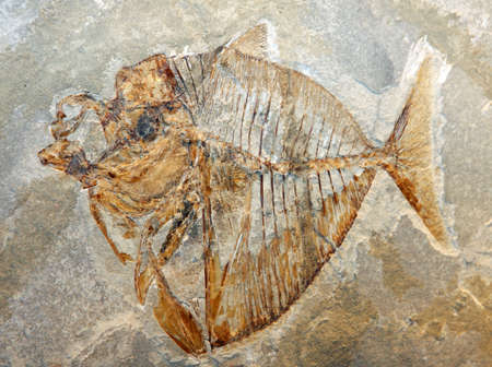 million: ancient fossil of a fish of a breed extinct for millions of years Stock Photo