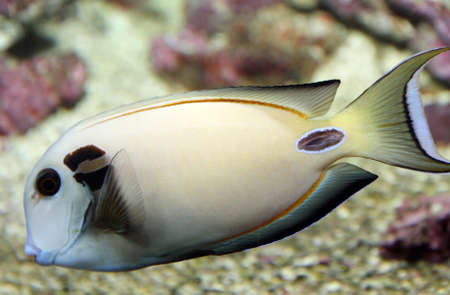 veining: white tropical fish with veining swims in temperate seas