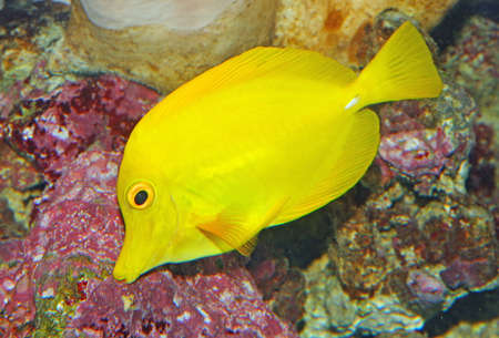 Yellow tropical fish and swim in the clear warm sea waters Stock Photo - 20191758