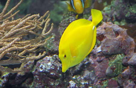 Yellow tropical fish and swim in the clear warm sea waters Stock Photo - 20191836