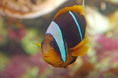 freshwater clown fish: Brown and orange tropical fish with white lines while swimming among the coral reefs of sea