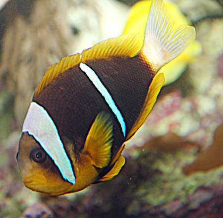 clown tang: Brown and orange tropical fish with white lines while swimming among the coral reefs of sea