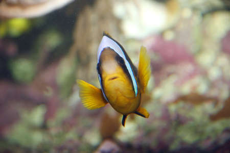 freshwater clown fish: Sulky tropical fish with white lines while swimming among the coral reefs of the sea Stock Photo