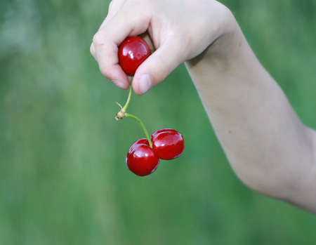 double red cherry in the hand of a child in summer photo