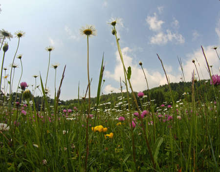 daisies and clovers blooming in mountain meadow Stock Photo - 20342920