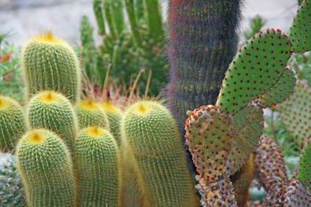 hemorrhoid: succulents and cactus with very sharp prickles and thorns of the cactus desert plants