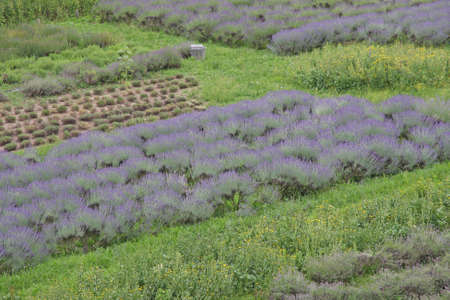 flowered: scented and flowered Lavender field grown by enthusiasts and patients Benedictine monks