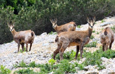 hijos: Manada salvaje de rebecos en el salvaje, mientras que pastan en medio de las rocas en las montañas