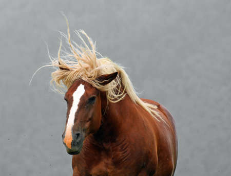 cavalry: Brown horse Stallion with the blonde mane agitated by the wind