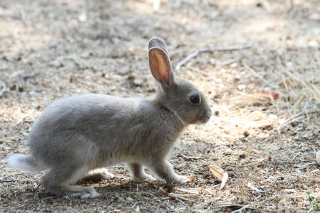 cute rabbit with grey fur around the beach looking for food photo