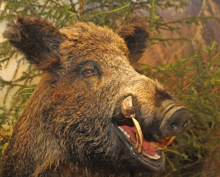 grin and pointed tooth of a wild boar of collini of Tuscany in italy photo