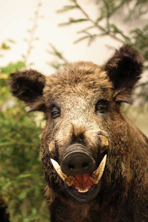 wild boar: grin and pointed tooth of a wild boar of collini of Tuscany in italy