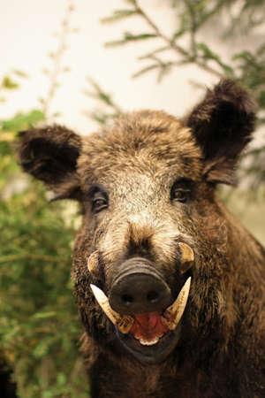 Wildschwein: Grinsen und spitzen Zahn eines Wildschweins von collini der Toskana in Italien